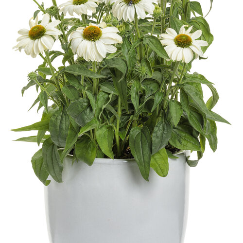echinacea_color_coded_the_price_is_white_mono.jpg