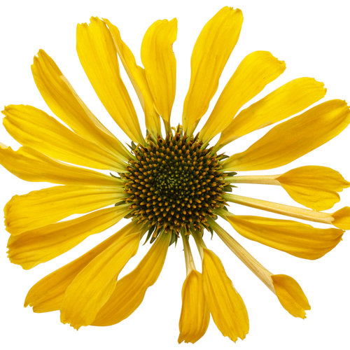 echinacea_color_coded_yellow_my_darling_02-macro.jpg