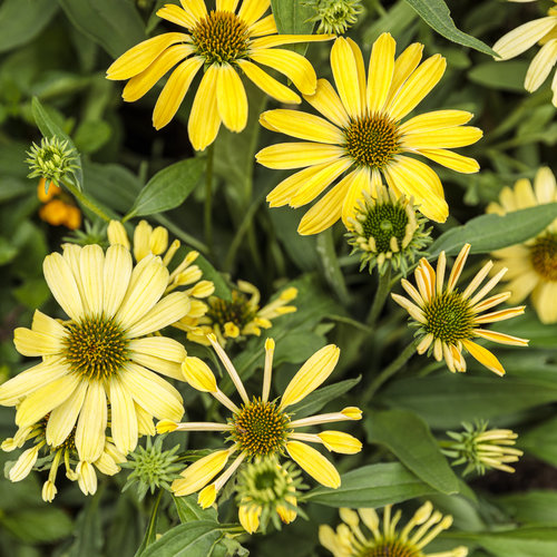 echinacea_color_coded_yellow_my_darling_25.jpg