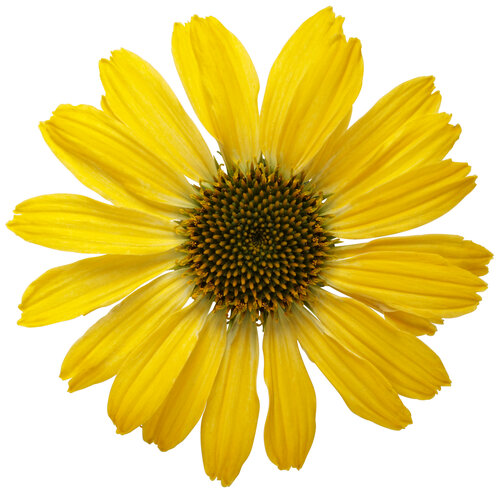 echinacea_color_coded_yellow_my_darling_macro_03.jpg