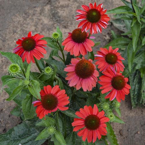 echinacea_frankly_scarlet.jpg