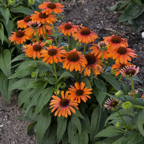 Color Coded Orange You Awesome Coneflower Echinacea Hybrid