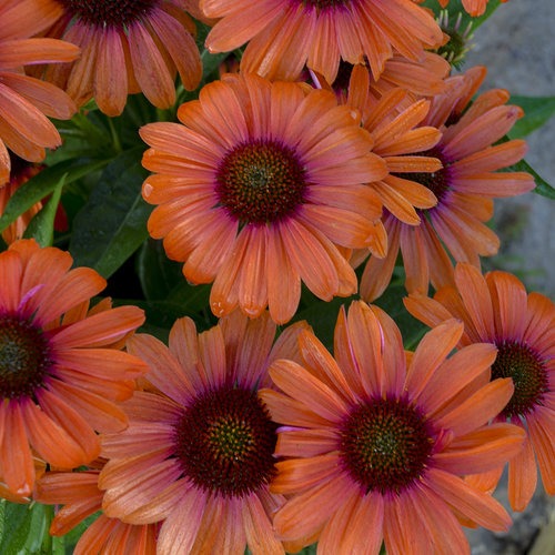 echinacea_orange_you_awesome_ppaf_cpbraf_0002_high_res.jpg