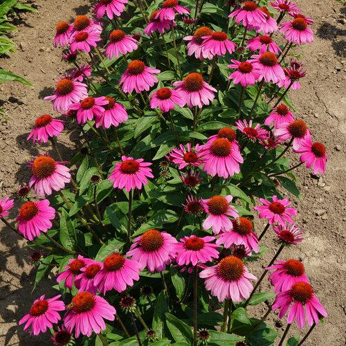 echinacea_sombrero_rosada_garden_26531.jpg