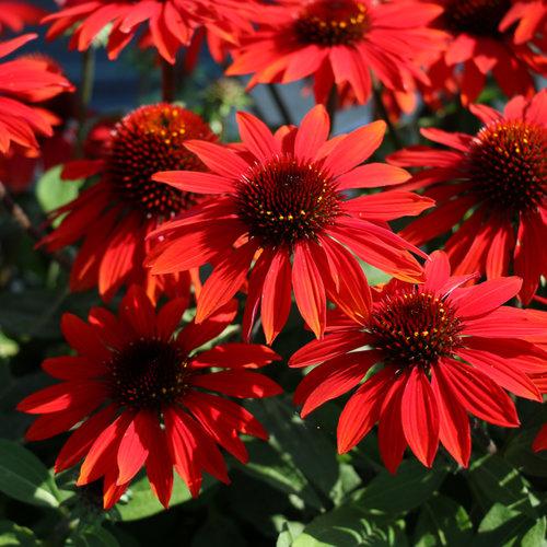echinacea_sombrero_sangrita_bloom_18851.jpg