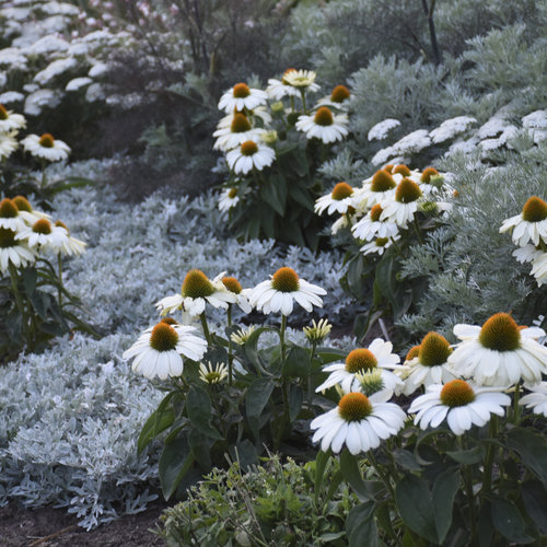 echinacea_the_price_is_right2.jpg