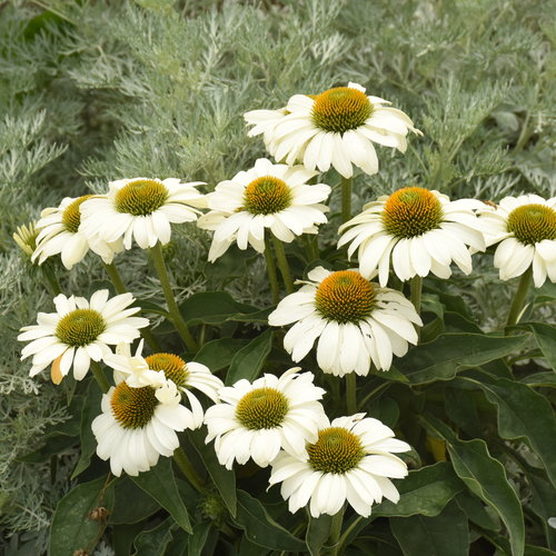 echinacea_the_price_is_white_cjw20.jpg