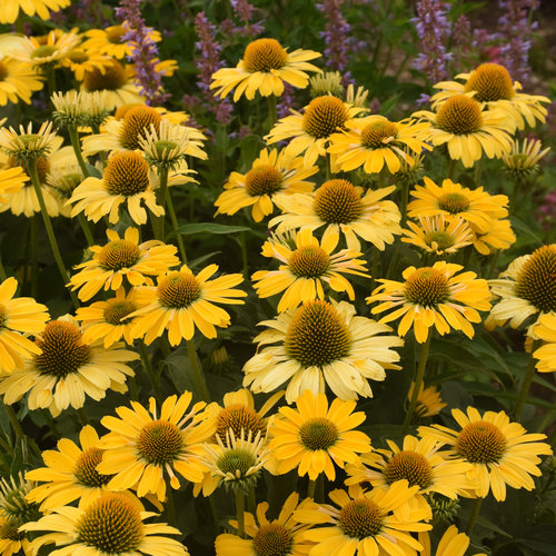 echinacea_yellow_my_darling_cjw20_4.jpg