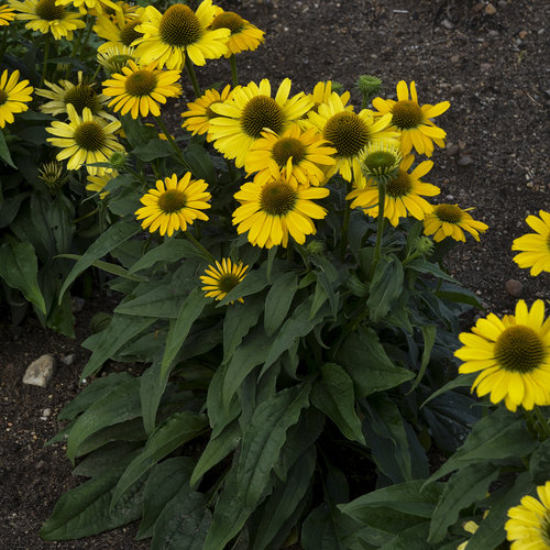 echinacea_yellow_my_darling_ppaf_cpbraf_0002_high_res.jpg