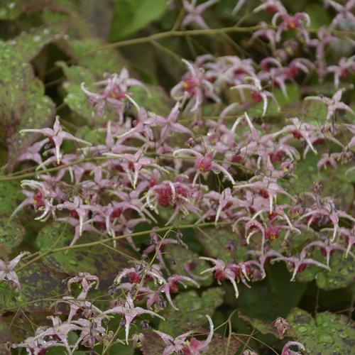 Pink Champagne - Barrenwort - Epimedium hybrid