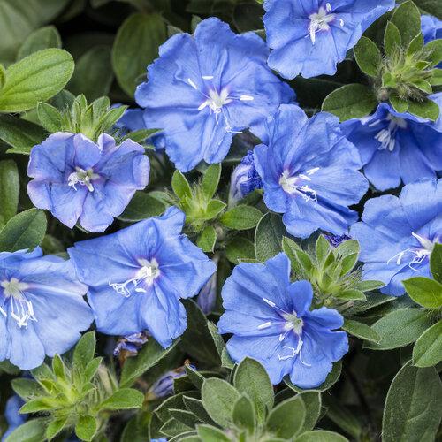 Blue My Mind® XL - Dwarf Morning Glory - Evolvulus hybrid