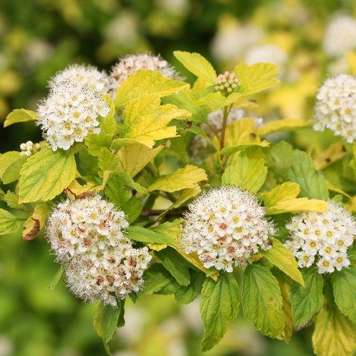 Festivus Gold® - Ninebark - Physocarpus opulifolius