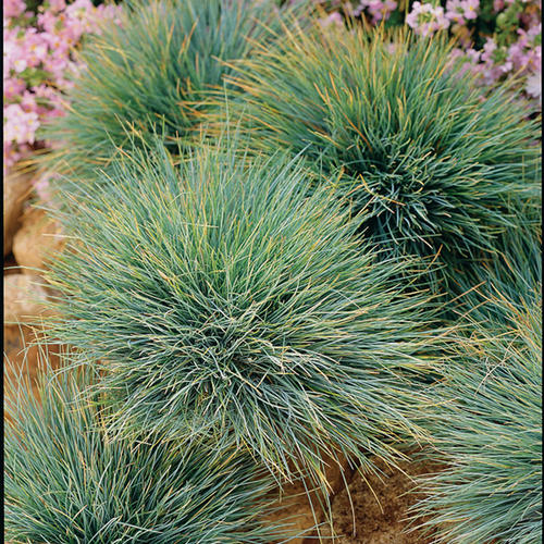 Elijah blue blue fescue festuca ovina glauca proven for Small blue ornamental grass
