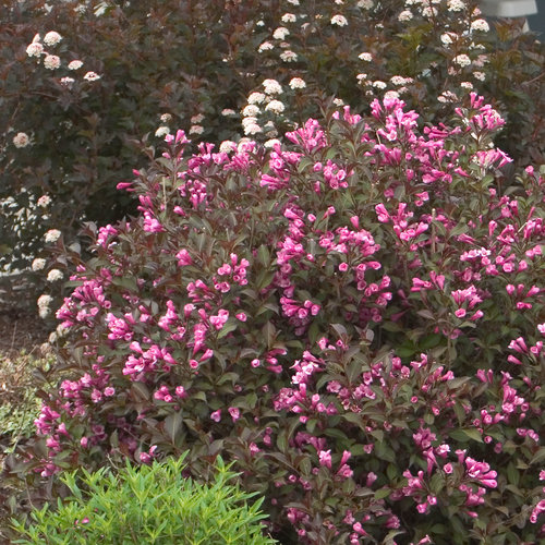 Fine Wine® - Weigela florida