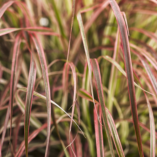 Graceful Grasses Fireworks Variegated Red Fountain Grass
