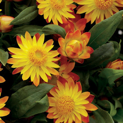 Sundaze® Flame - Strawflower - Bracteantha (Xerochrysum) bracteata