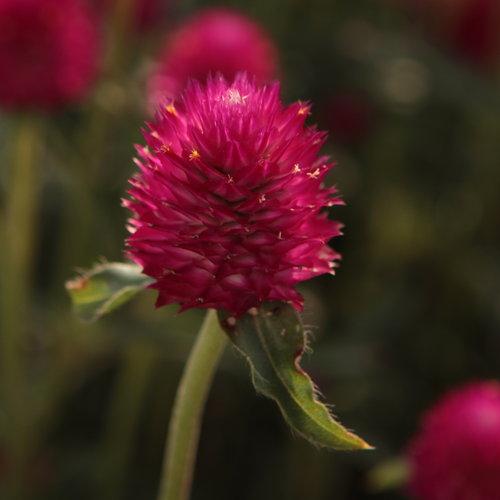 Forest™ Pink - Globe Amaranthus - Gomphrena haageana
