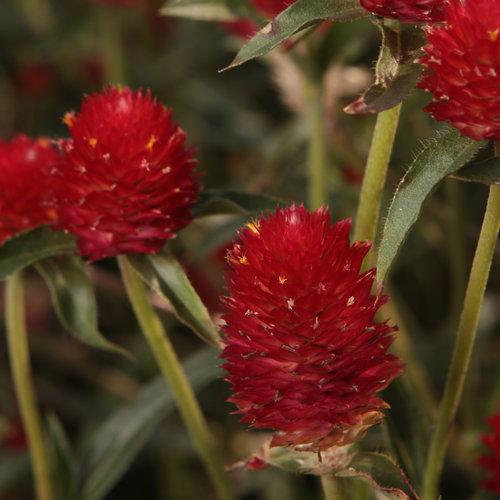 Forest™ Red - Globe Amaranthus - Gomphrena haageana