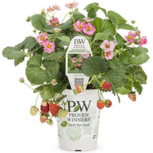 fragaria_berried_treasure_pink_grande.jpg