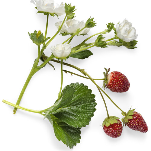 fragaria_berried_treasure_white_macro_01.jpg