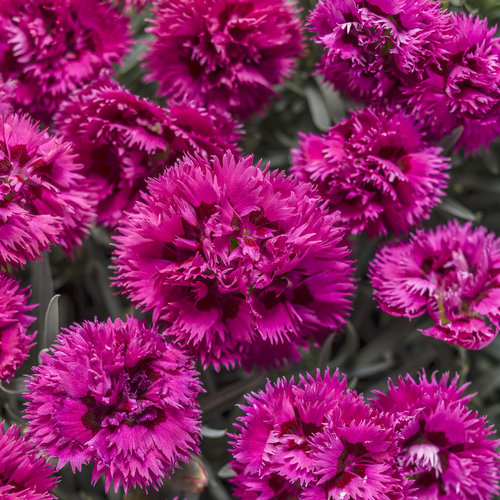 Fruit Punch® 'Spiked Punch' - Pinks - Dianthus hybrid