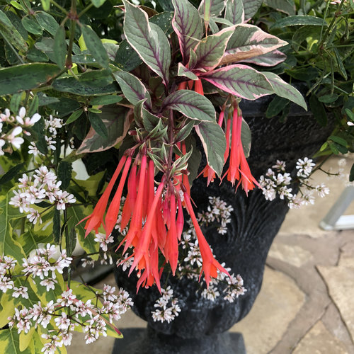 Firecracker - Upright Fuchsia - Fuchsia hybrid