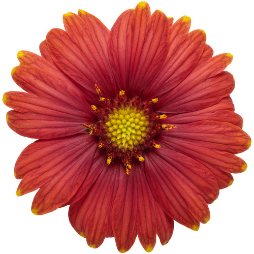gaillardia_heat_it_up_scarlet_02.jpg
