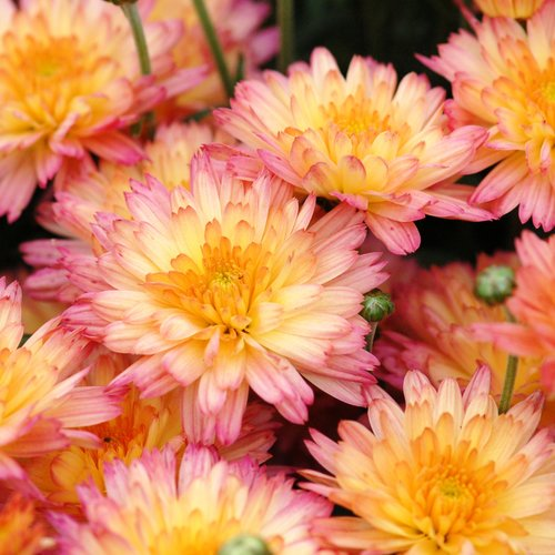 Flamingo Pineapple Pink Garden Mum - Chrysanthemum grandiflorum