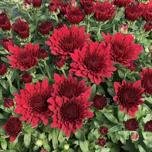 Morgana Red Garden Mum - Chrysanthemum grandiflorum