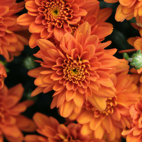 Orange Zest Garden Mum - Chrysanthemum grandiflorum