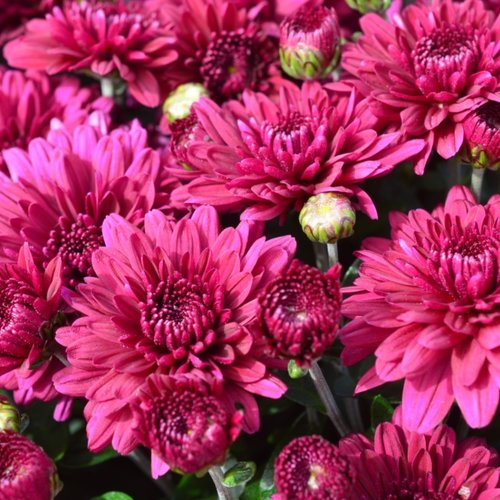 Plumberry Purple Garden Mum - Chrysanthemum grandiflorum