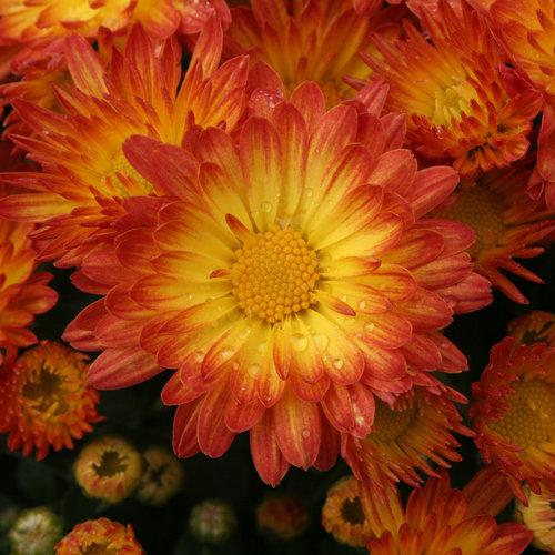 Stacy™ Dazzling Orange Garden Mum - Chrysanthemum grandiflorum