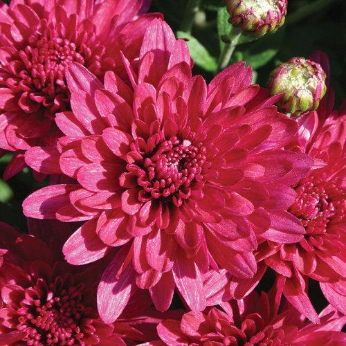 Wanda Purple Garden Mum - Chrysanthemum grandiflorum