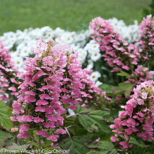 Gatsby Pinku00ae - Oakleaf hydrangea - Hydrangea quercifolia : Proven Winners