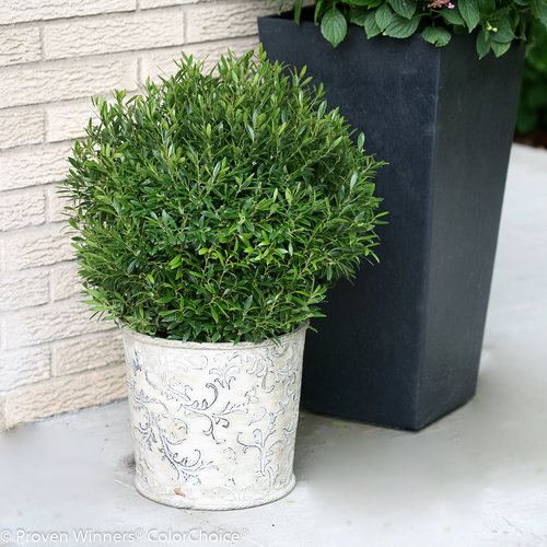 Gem Box® - Inkberry holly - Ilex glabra