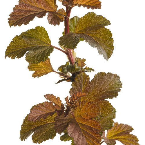 ginger_wine_physocarpus_01.jpg