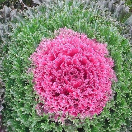 Glamor Red - Kale - Brassica oleracea