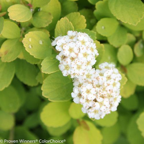 Glow Girl® - Birchleaf Spirea - Spiraea betulifolia