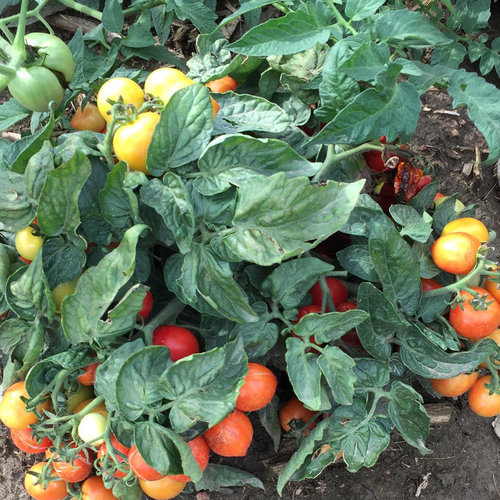 Tempting Tomatoes™ Goodhearted™ - Lycopersicon esculentum