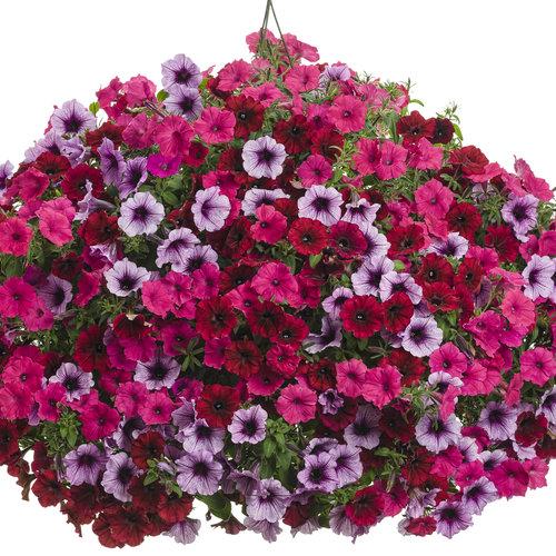 nouveau produit a5cb1 52e5b Supertunia® Bordeaux™ - Petunia hybrid | Proven Winners