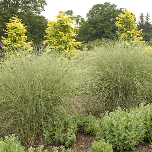 Morning Light Ornamental Grass Miscanthus Sinensis Proven