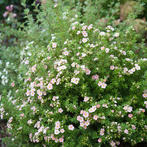 happy_face_pink_paradise_potentilla-2.jpg