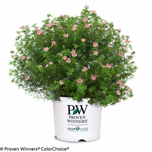 happy_face_pink_paradise_potentilla.jpg