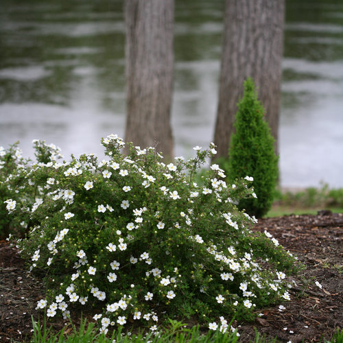 happy_face_white_potentilla-0715.jpg