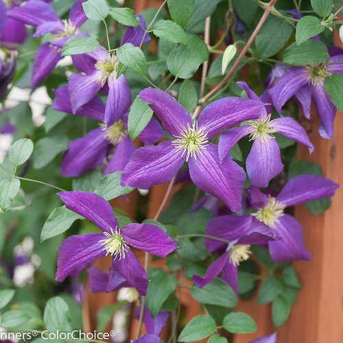 happy_jack_purple_clematis-4.jpg