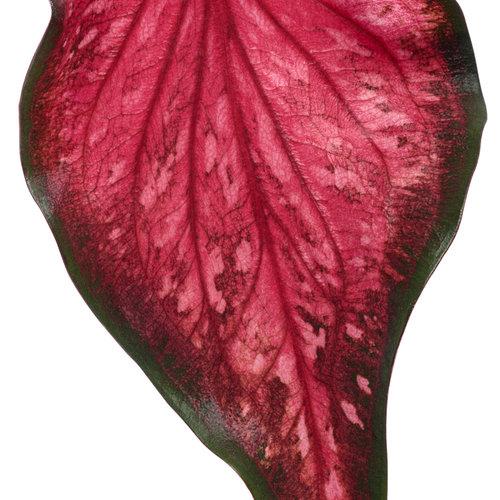 heart_to_heart_scarlet_flame_macro-02.jpg