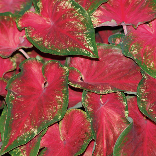 Heart to Heart® 'Heart's Delight' - Sun or Shade Caladium - Caladium hortulanum