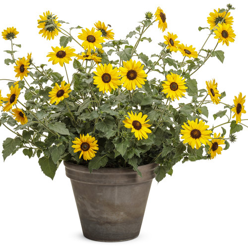 helianthus_suncredible_yellow.jpg