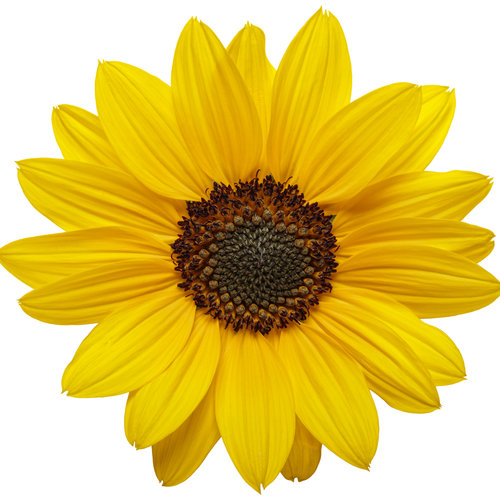 helianthus_suncredible_yellow_01.jpg