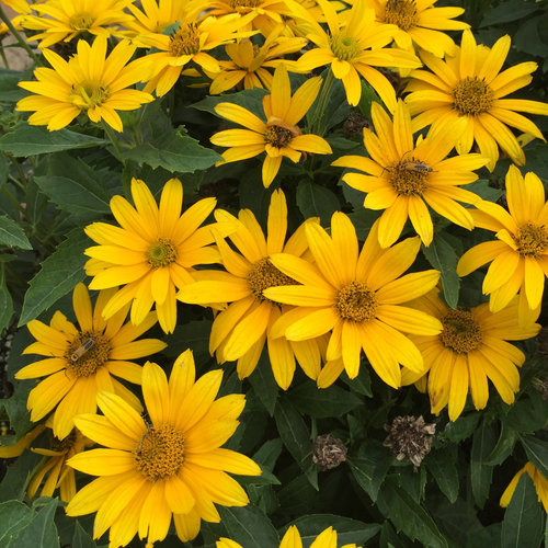 tuscan gold false sunflower heliopsis helianthoides proven